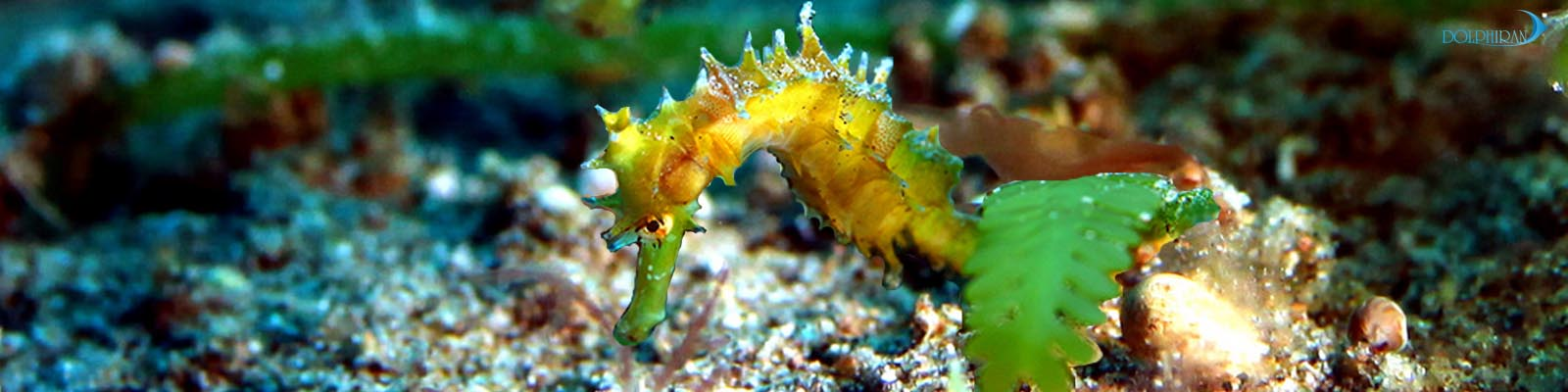 آشنایی با اسبک های دریایی جنس Hippocampus (بخش دوم)