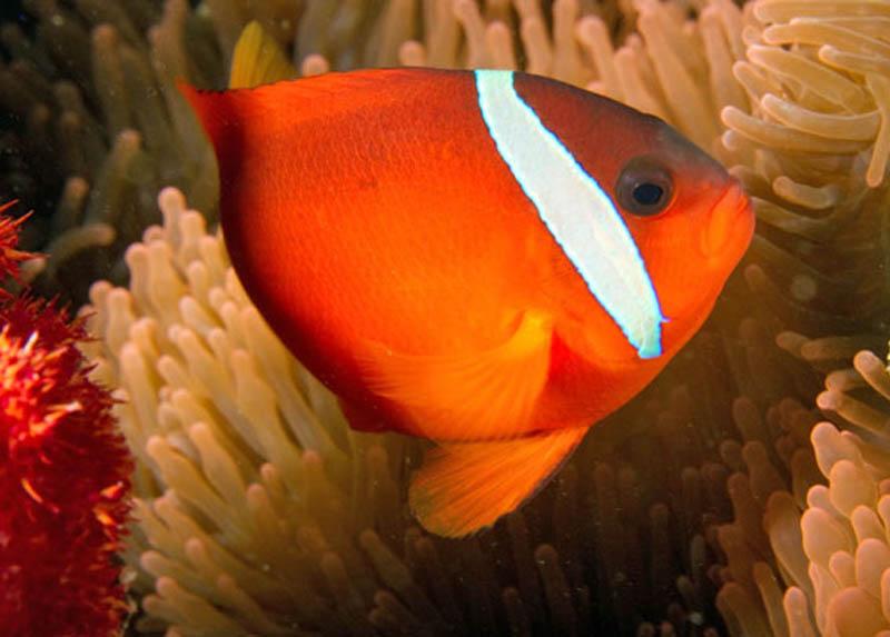 دلقک ماهی باربری