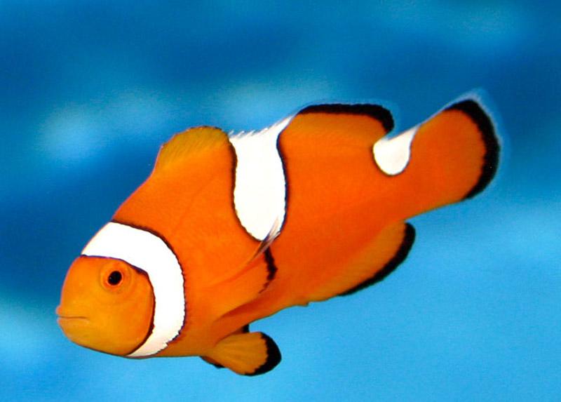 دلقک ماهی پرکولا دو خط