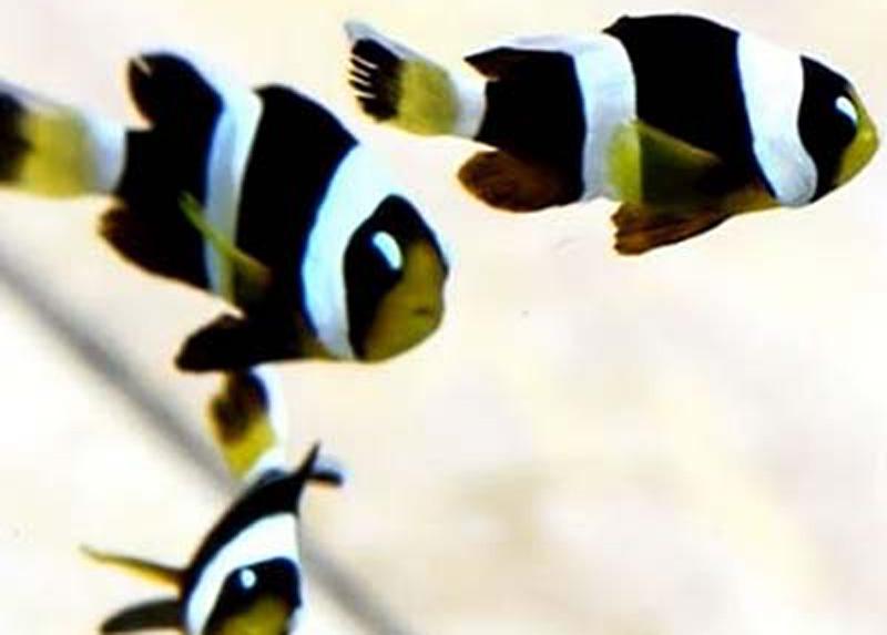 دلقک ماهی کلارکی ابرودار