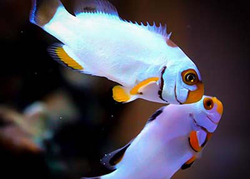 دلقک ماهی پرکولا پلاتینیوم