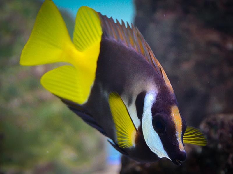 روباه ماهی فیجی ( فاکس فیس دو رنگ )