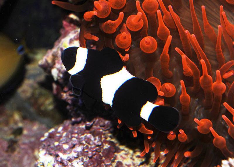 دلقک ماهی اسلاریس سیاه و سفید