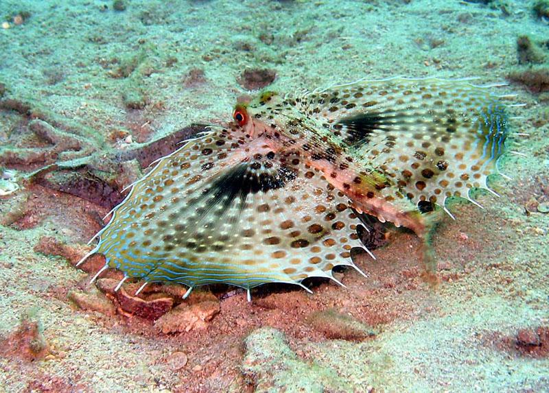 خروسک ماهی پرنده شرقی