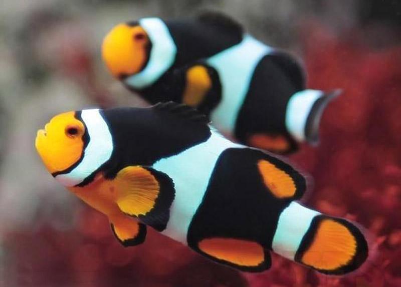 دلقک ماهی آنیکس پرکولا