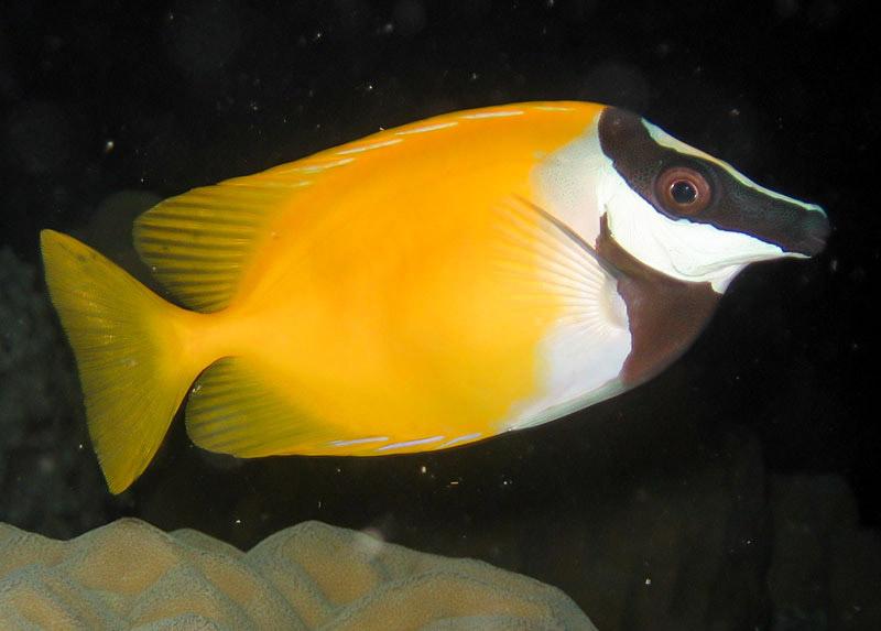 روباه ماهی زرد