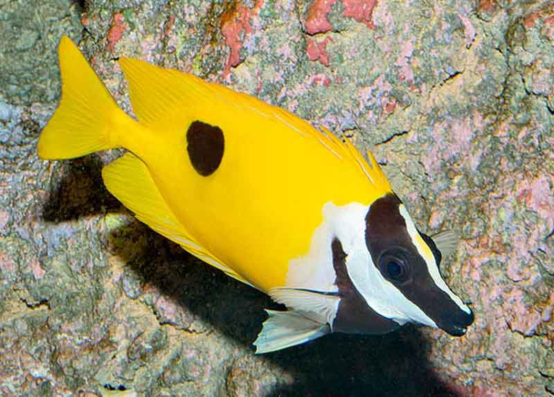 روباه ماهی زرد تک خال