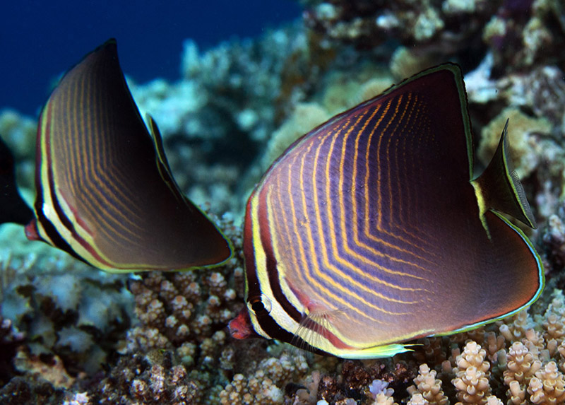 پروانه ماهی سه گوش شرقی
