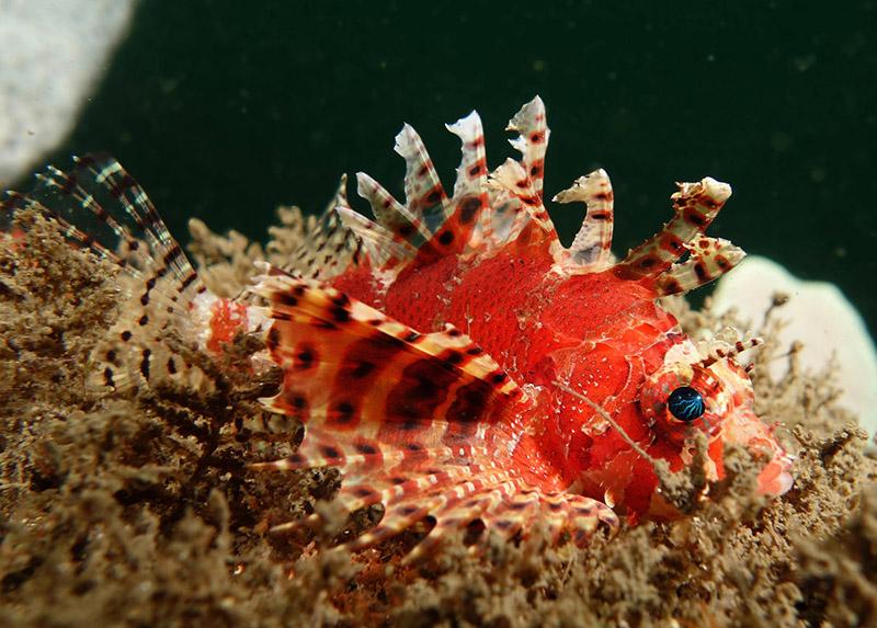 خروس ماهی کوتوله ( باله کوتاه)