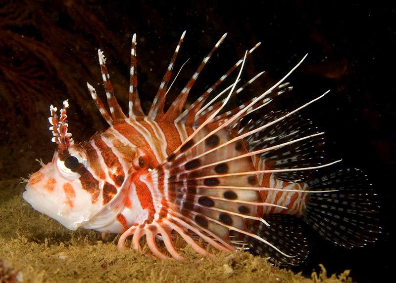 خروس ماهی آنتن دار