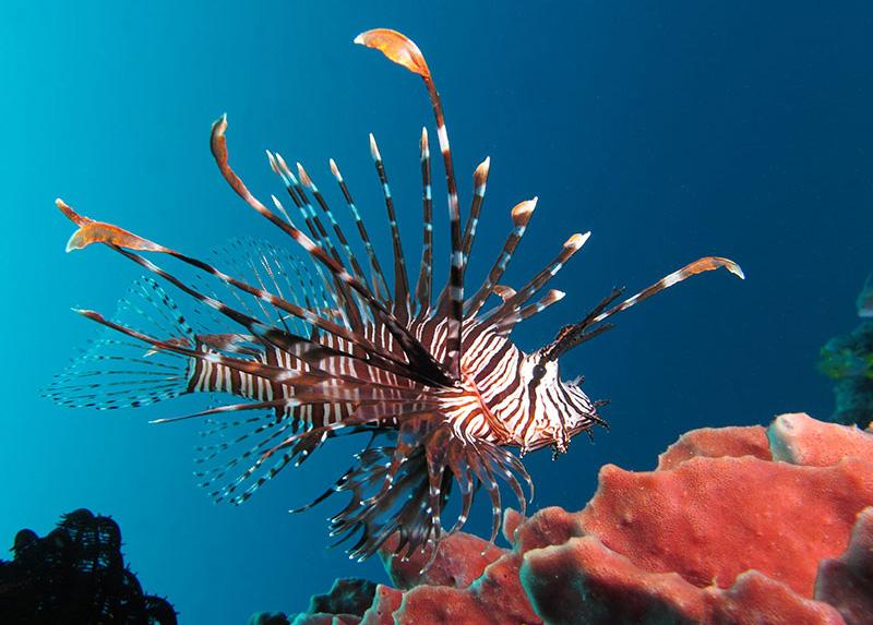 خروس ماهی ولیتان