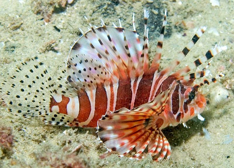 خروس ماهی گورخری