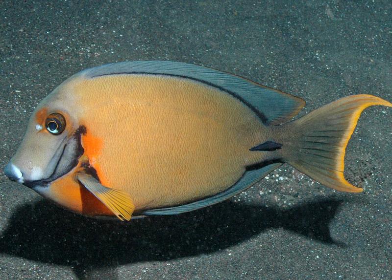 جراح ماهی شکلاتی (بالغ)