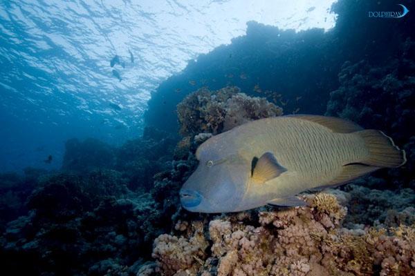ماهی های آکواریوم: راس های Halichoeres