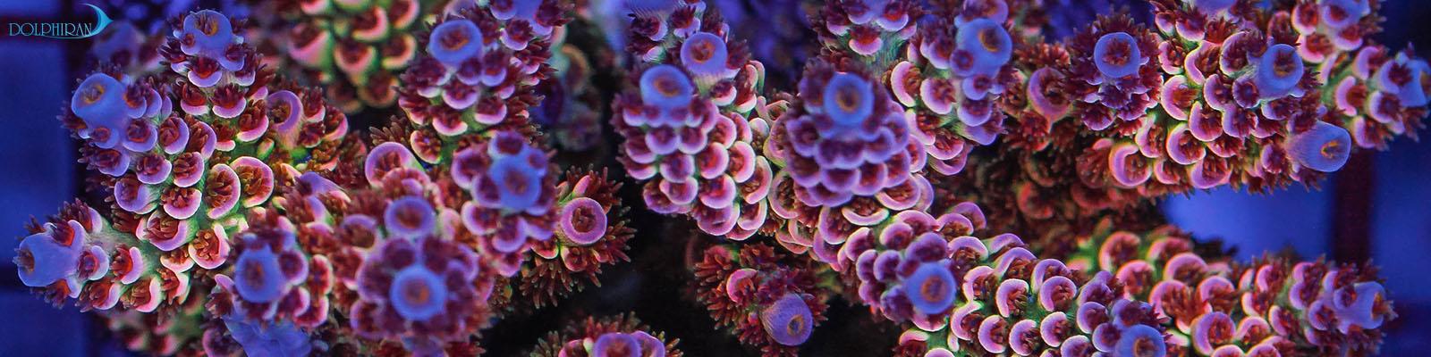 پیوند زدن رنگین کمانی مرجان آکروپورا میلپورا