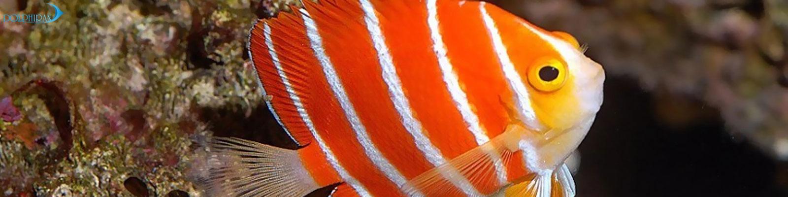 فرشته ماهیان سازگار با آکواریوم ریف - بخش دوم