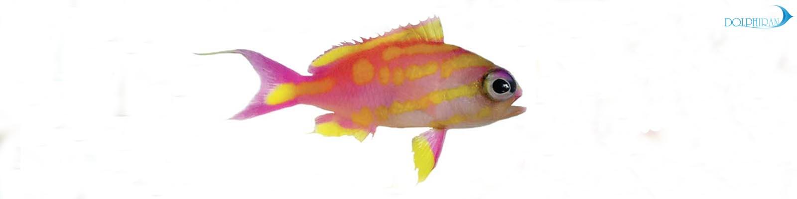 گونه ی جدیدی از آنتیاس های آب های عمیق، به نام Tasanoides bennetti