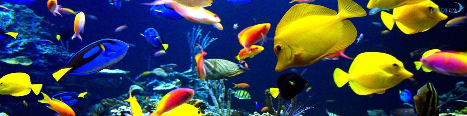 پخش ماهی Calico Scopus Tang در میان واردات اخیر ماهی های Koi و Tricolor Tangs