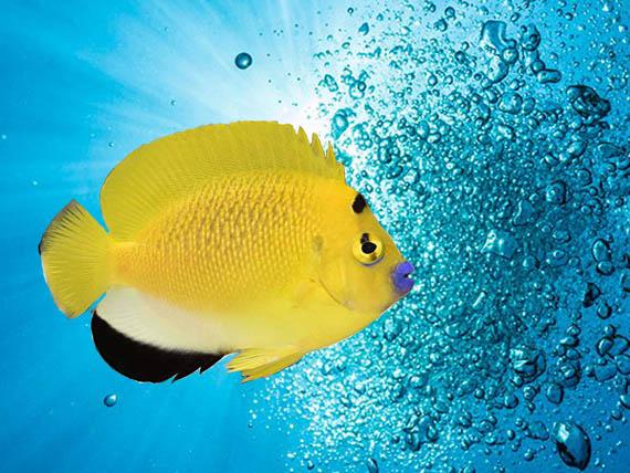 كشف فرشته ماهی لب ماتیکی در کشور فیلیپین، که در نوع خودش غیرعادی بنظر می رسد.