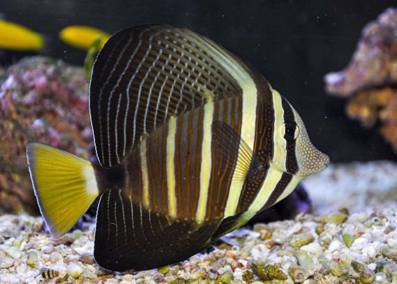 جراح ماهی بادبانی