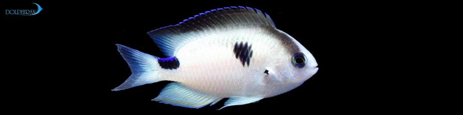 هیچ گاه پیش از این شاهد جمع اوری ماهی دامسل توسط شرکت Blue Ocean SARL نبوده ایم.